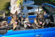 German Dogs in German Car 2